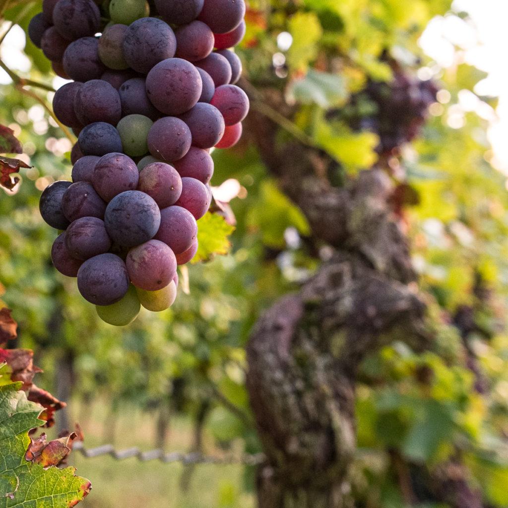 Rote Weintrauben im Weinberg