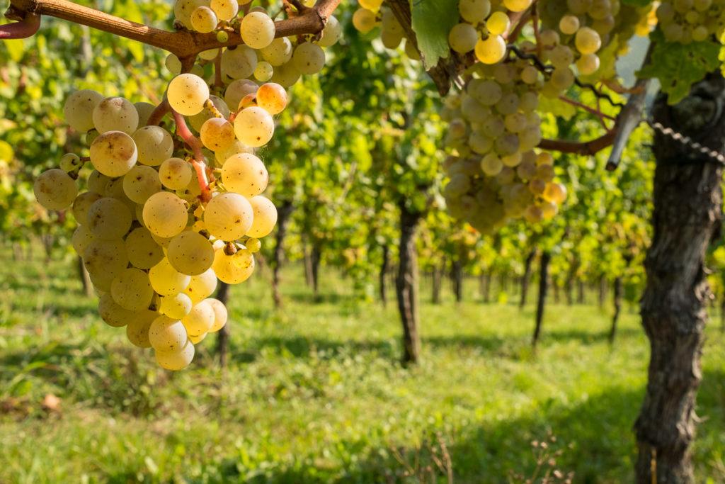 Riesling Weintrauben