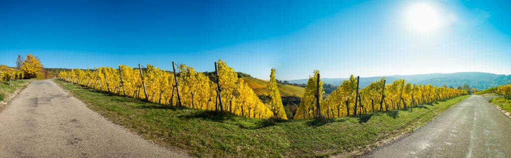 Gelbes Herbstlaub im Weinberg Panorama
