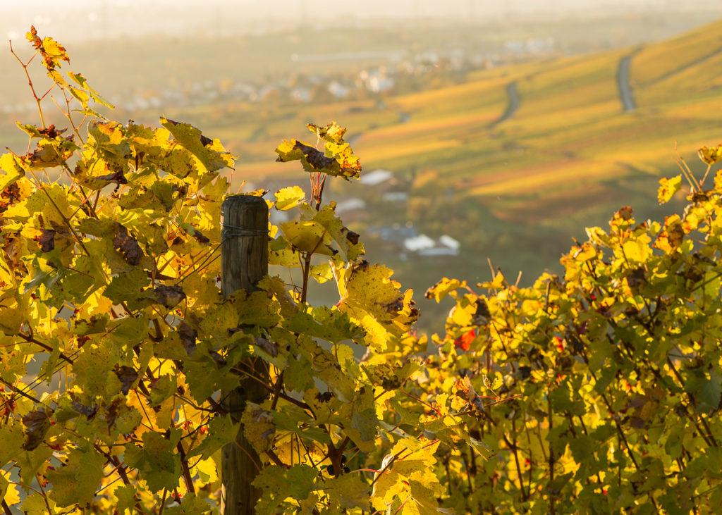 Gelbes Weinlaub im Weinberg im Sonnenlicht