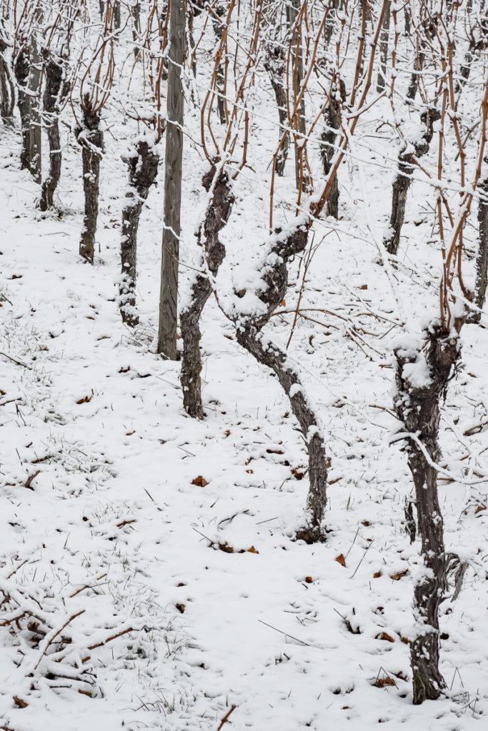 Reben im Weinberg mit Schnee im Winter