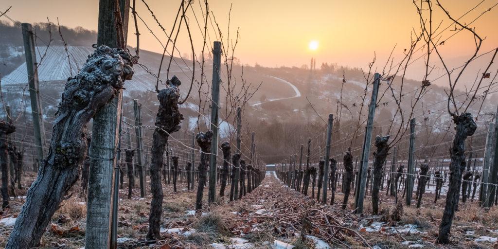 Alte Rebe im Sonnenuntergang im Winter