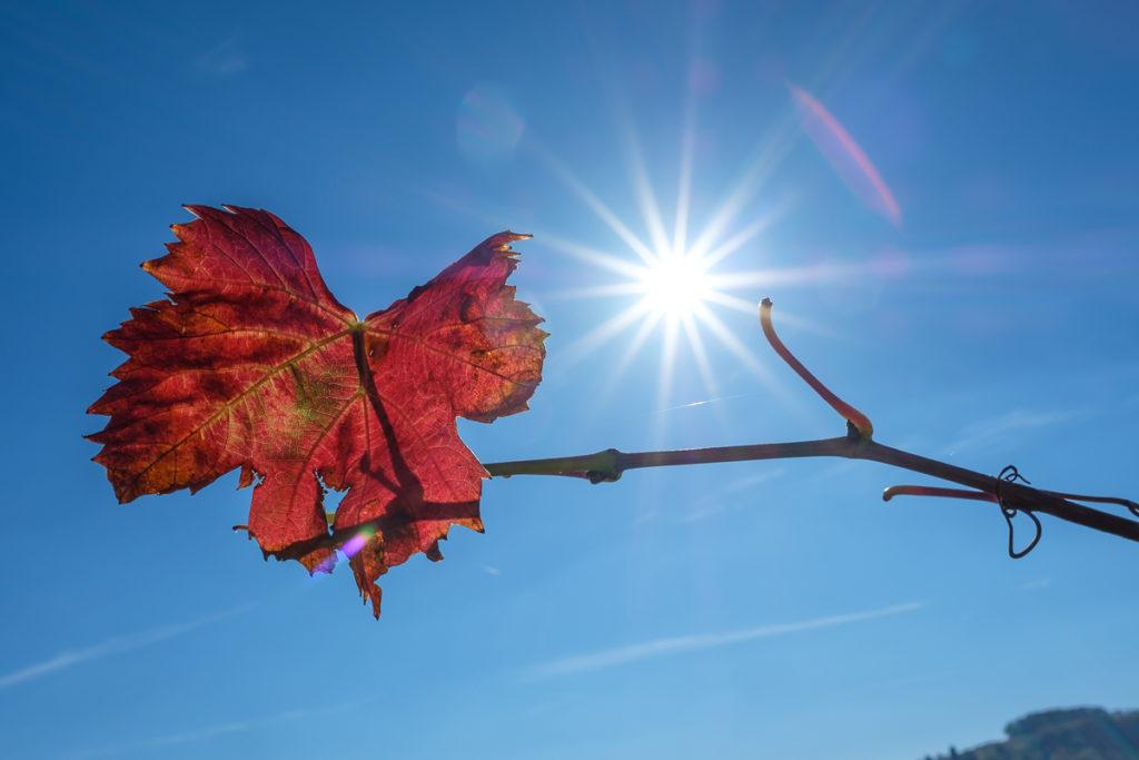 Rotes Weinblatt und Sonnenstern