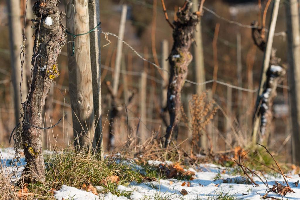 Weinberg mit alten Reben im Winter
