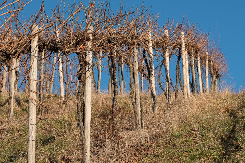 Weinberg als Pergola kultiviert