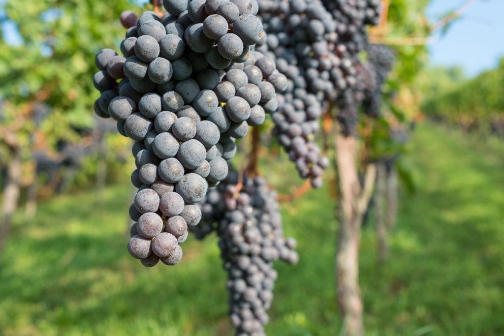 Pinot Noir Weintrauben