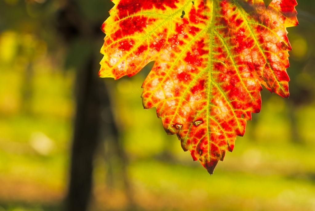Rotes Weinblatt