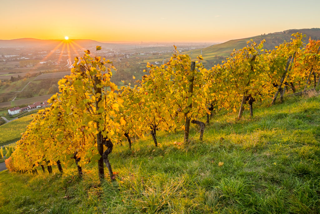 Sonnenuntergang im Herbst im Weinberg