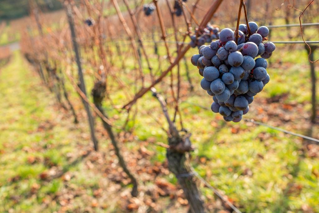 Weintrauben im November