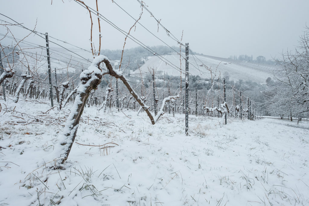 Knorrige Rebe mit Schnee im Winter