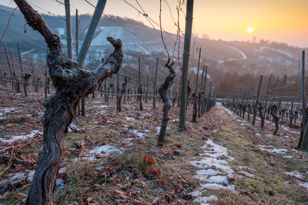 Knorrige Rebe im Weinberg Wintermorgen