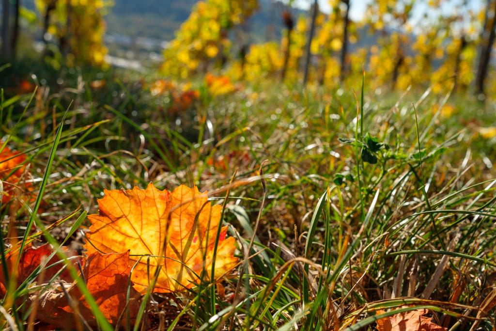 Weinblätter gelb orange