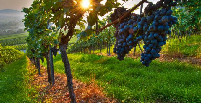 Rote Weintrauben