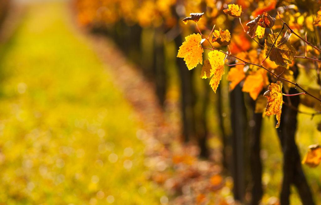 Weinblätter mit Herbstfärbung