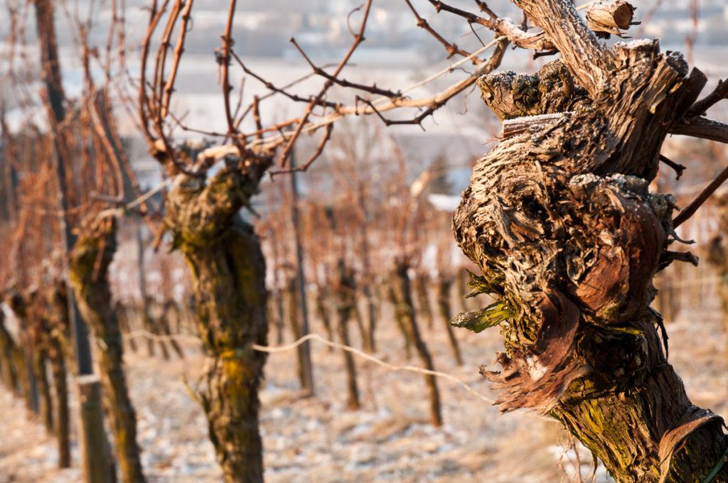 Alte Weinrebe im Weinberg im Winter