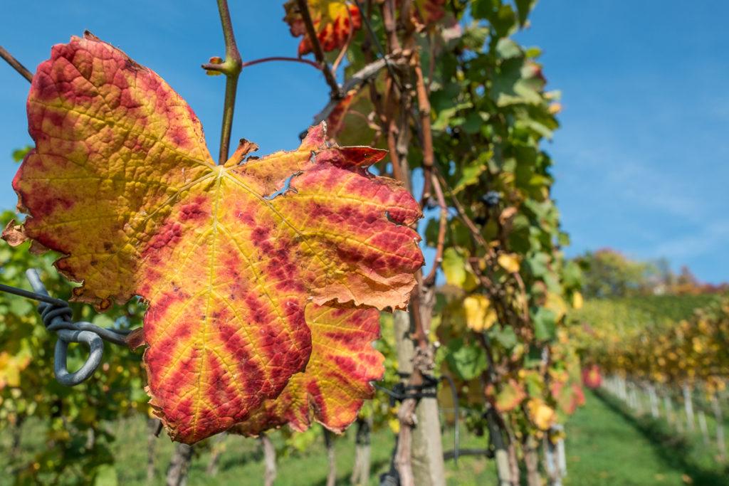 Weinblatt in rot und gelb im Herbst