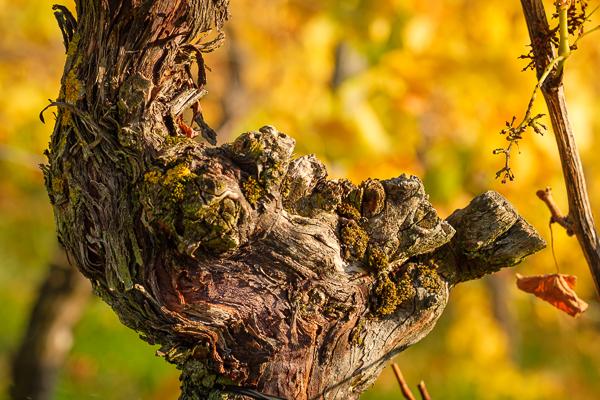 Remstal - Knorrige Rebe im Herbst
