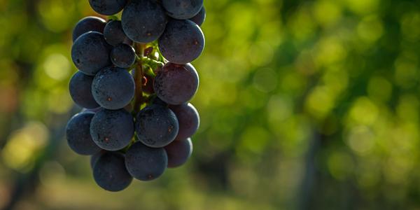 Remstal - Weintrauben - Rotwein